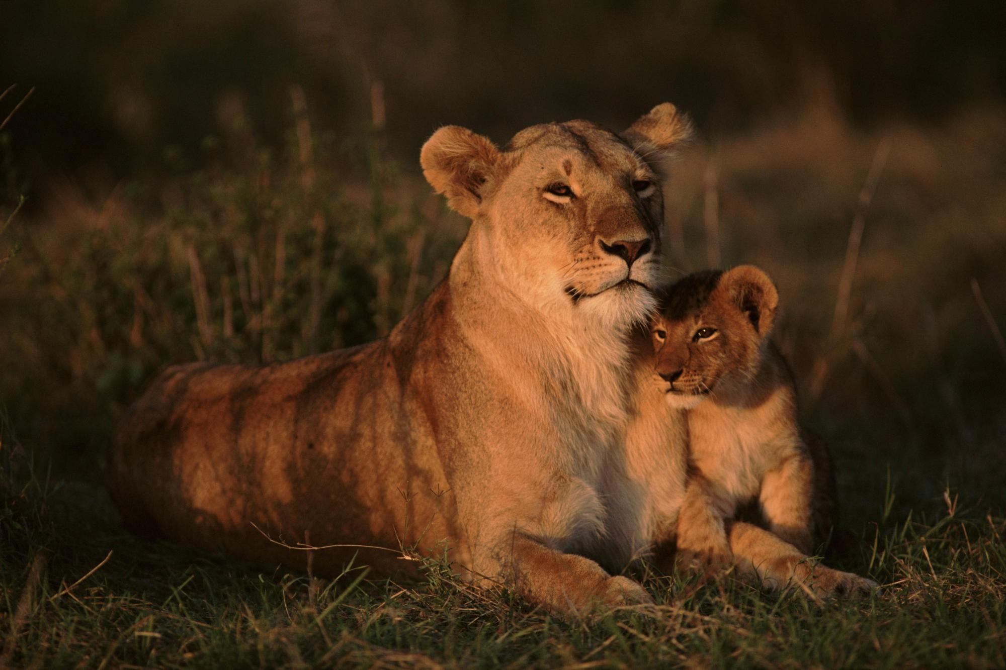 Львица и львенок » Львята » Кошачья галерея » Magnus Felidae ...
