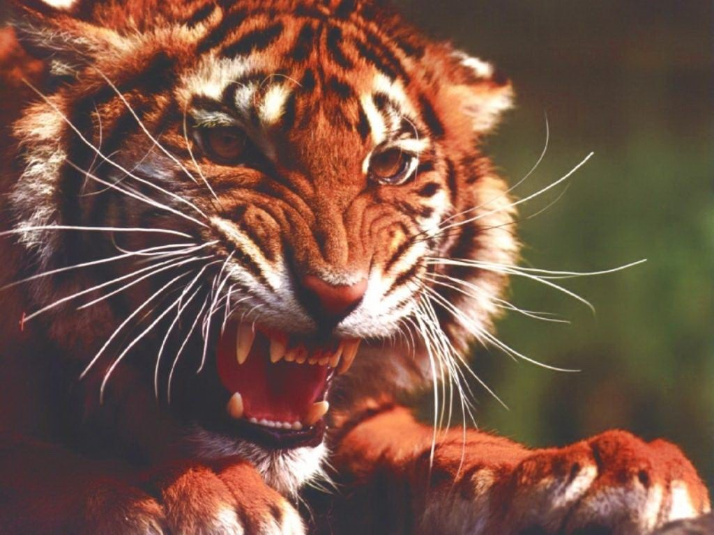 рычит тигр фото