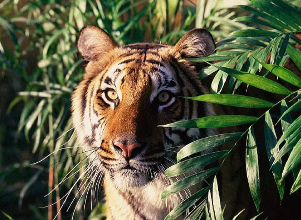jungle fur bengal tiger Lord of the jungle: tiger in its most recognizable feature is a pattern of dark vertical stripes on reddish-orange fur with the bengal tiger.