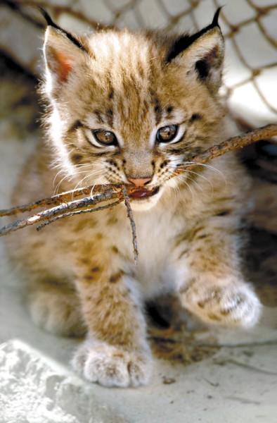 В Екатеринбургском зоопарке родились детеныши у рысей и пум