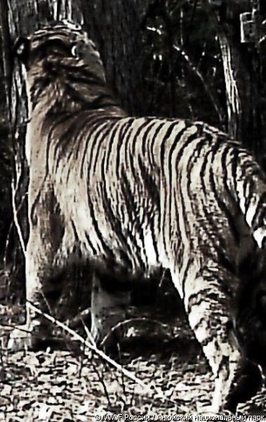 Тигру и тигрице оформили паспорта (фото)