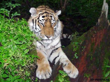 Хабаровский край получит 17 миллионов на спасение тигров