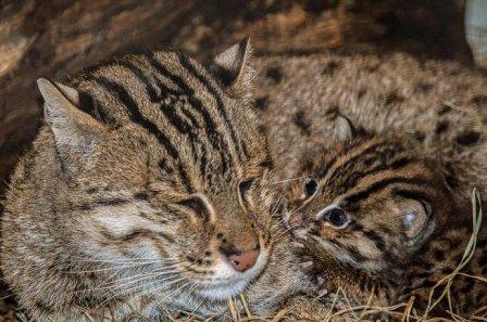 В Смитсоновском зоопарке родился детеныш кошки-рыболова