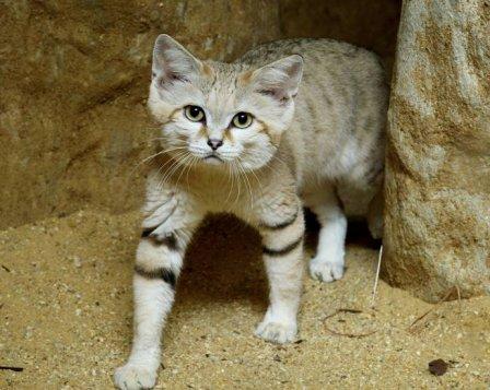 В Смитсоновский зоопарк привезли песчаного кота Тора