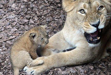В зоопарке Венгрии показали публике трех индийских львят