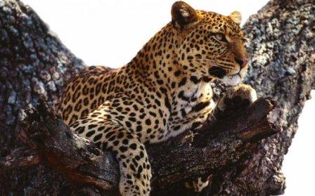 В Сочи будут разводить кавказских леопардов