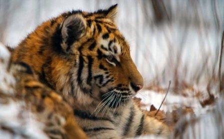 Амурский тигр был впервые снят на камеру в дикой природе за последние 50 лет (фото, видео)