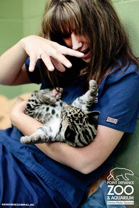 Дымчатый леопард Тян из зоопарка Вашингтона