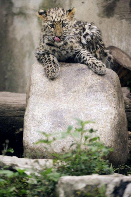 Дальневосточный леопард из России попал в фотоловушку в Китае