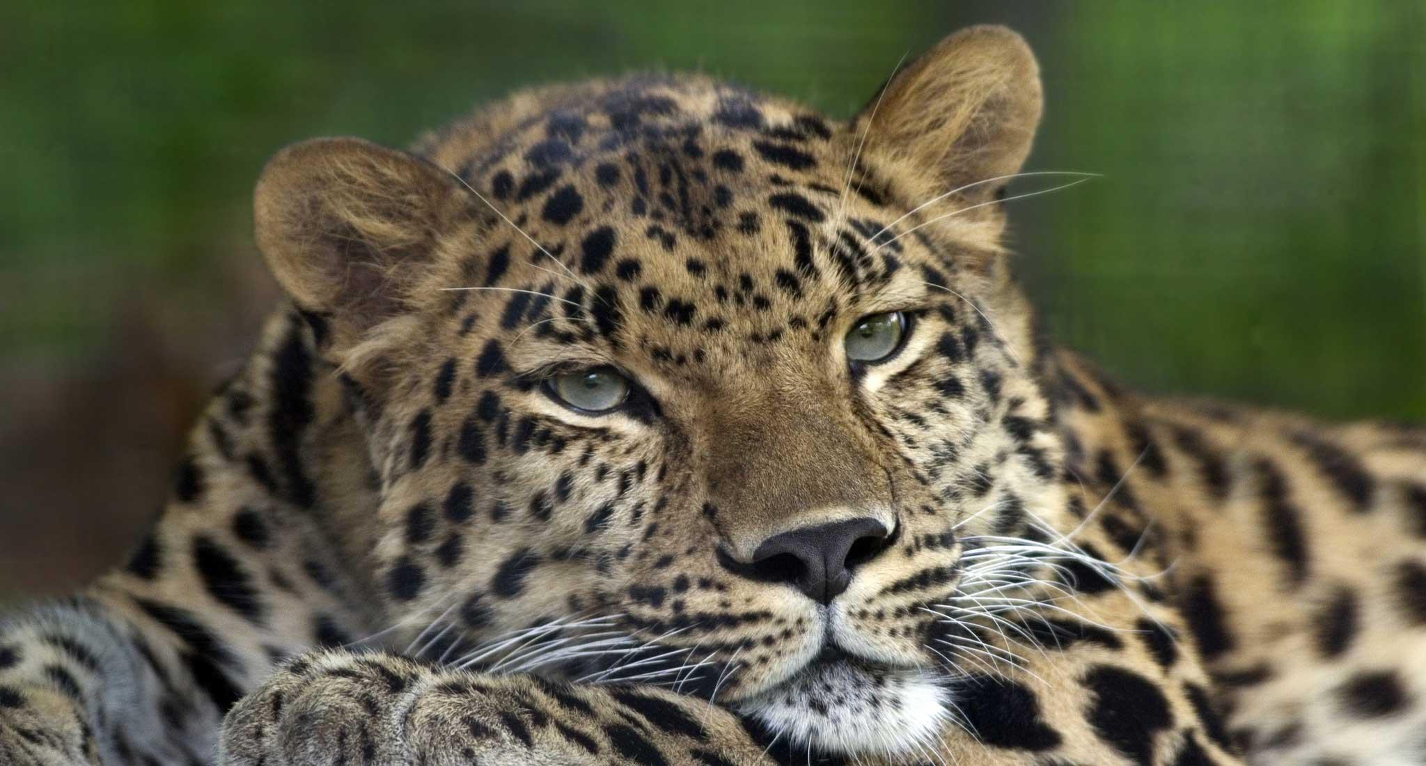 http://greatcats.ru/uploads/posts/2010-06/1277826169_leopard_pokrovskiy.jpg