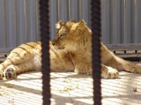 Львенок из новокузнецкого зоопарка обживается во Владивостоке
