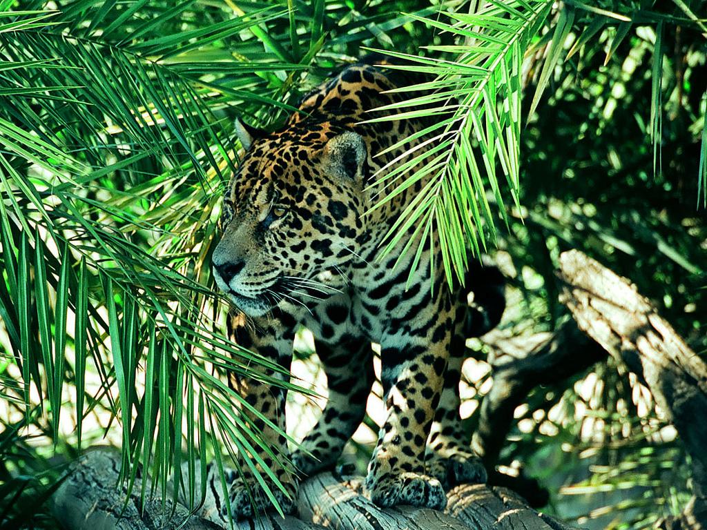 Jaguar  Wikipedia