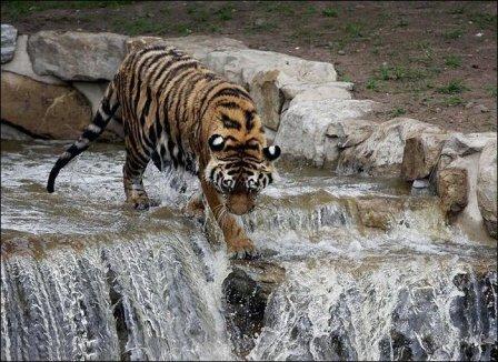 Храбрый тигр (фото)