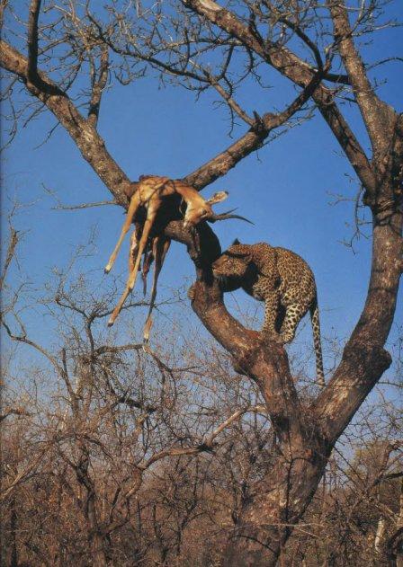 """Леопарды. Фоторепортаж по книге Эндрю Клива """"Большие кошки""""."""