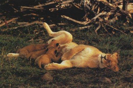 """Львы. Фоторепортаж по книге Эндрю Клива """"Большие кошки""""."""