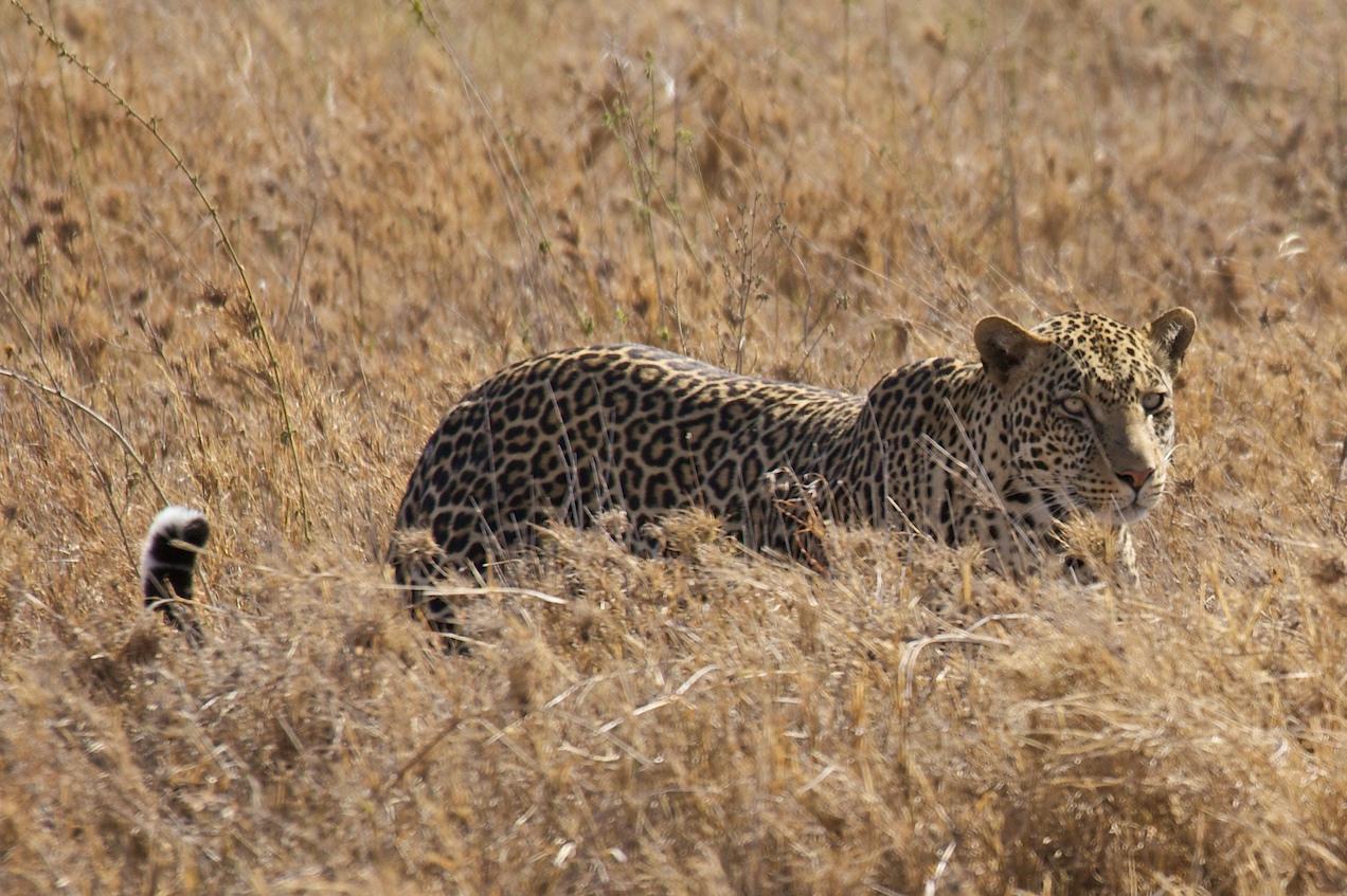 142386a49d1a Барс, пантера, леопард – кто они  » Magnus Felidae (Великие Кошачьи ...