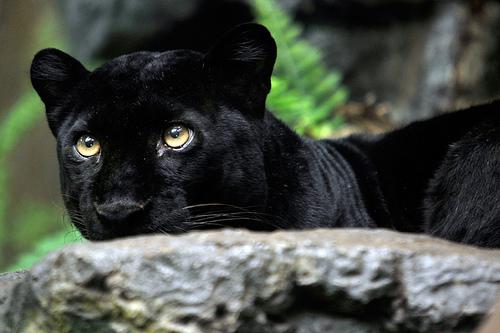 Барс, пантера, леопард – кто они? » Magnus Felidae (Великие ...