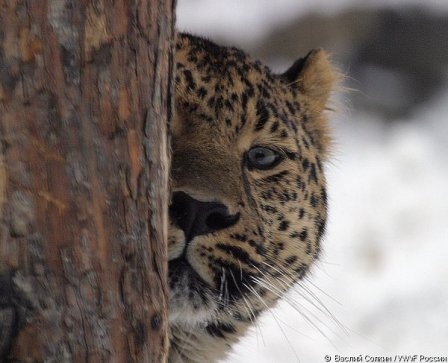 WWF России попал на свадьбу дальневосточного леопарда (видео)