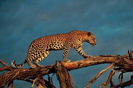C фотоаппаратом на леопарда