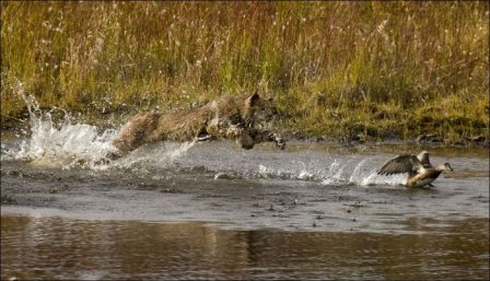 Как рысь охотится на уток