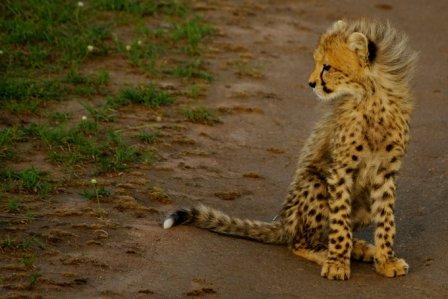 Гепарды Массаи