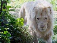 Единственный в России белый лев поселился в Краснодаре