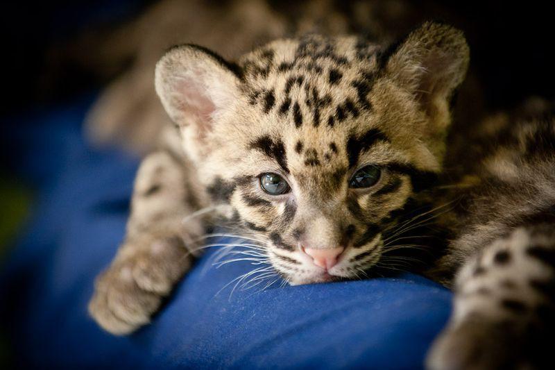 Картинки по запросу Этот спящий дымчатый леопард