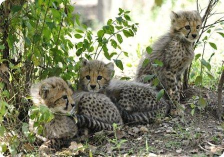 В Тбилисском зоопарке появились четыре гепарда
