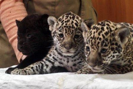 В Тбилисском зоопарке родилась чёрная пантера (видео)