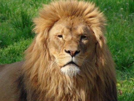Уссурийский зверинец пополнили цирковые пенсионеры-львы