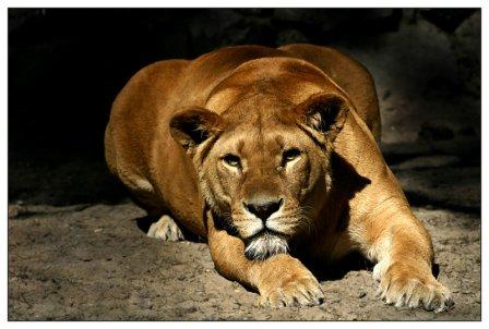 Львица, найденная в Карачаево-Черкесии, теперь живёт в Ростовском зоопарке