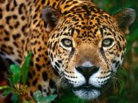 Ягуар зоопарка Terra Natura прошел курс лечения