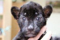 В зоопарке Екатеринбурга впервые за 10 лет родился ягуарёнок
