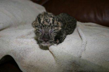 """В ялтинской """"Сказке"""" родился амурский леопард"""