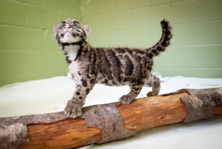 Детёныш дымчатого леопарда из Вашингтона (фото и видео)