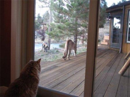 Пума пришла в гости к домашнему коту