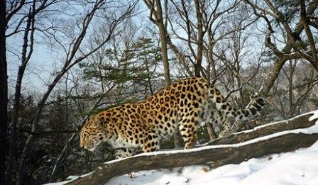 Сезон отлова леопардов и тигров для метки завершен в Приморье