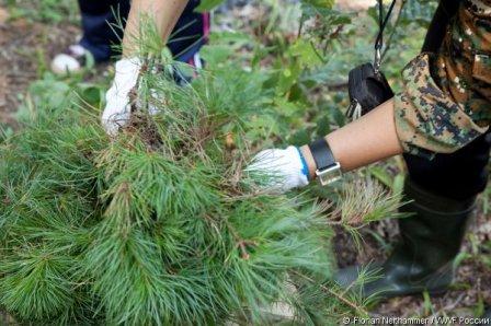 Более половины кедров, посаженных в Приморье WWF, прижились