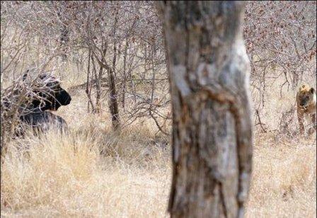 Львица устроила разборки с буйволом на автотрассе в Африке