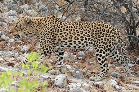 Как отличить ягуара от леопарда?