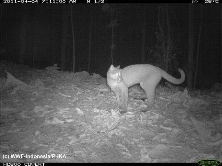 Дикие и редкие кошки Суматры (фото)
