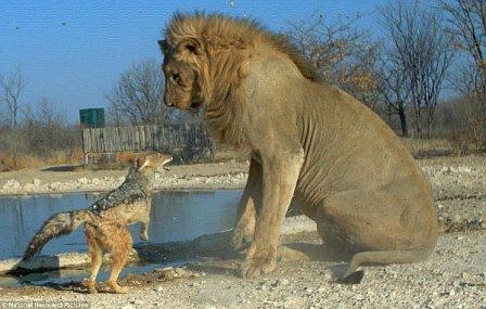 Обиженный, но отважный шакал может напасть на льва