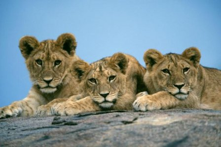 В зоопарке Удмуртии родились трое львят (видео)