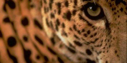 В Приморье леопард отобедал на 15 тысяч рублей
