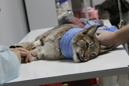 Уральские врачи спасают жизнь рыси (видео)