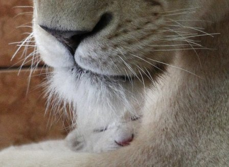 В зоопарке Белграда родились четыре белых львёнка (фото, видео)