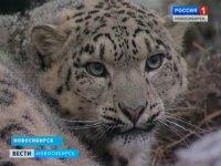 В Новосибирский зоопарк из Швеции привезли самку снежного барса (видео)