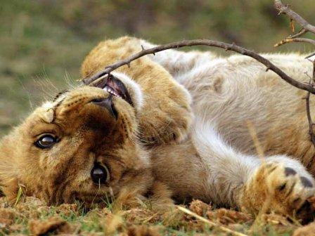 В воскресенье в Харьковском зоопарке поселится 4-месячный львенок Ричи