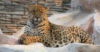 В Новосибирске семья ягуаров родила тройню (видео)