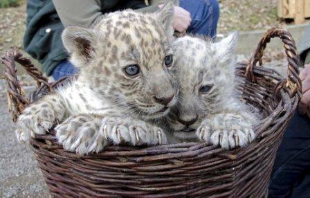 В немецком зоопарке представили публике белых ягуаров (фото, видео)